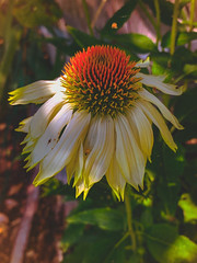 Echinacea in the early evening light.