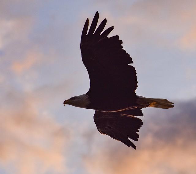 Bald eagle sunset silhouette!