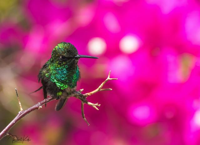 A little gem! (Blue-tailed Emerald 6)