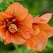 Orange_Abutilon,_4.24.19