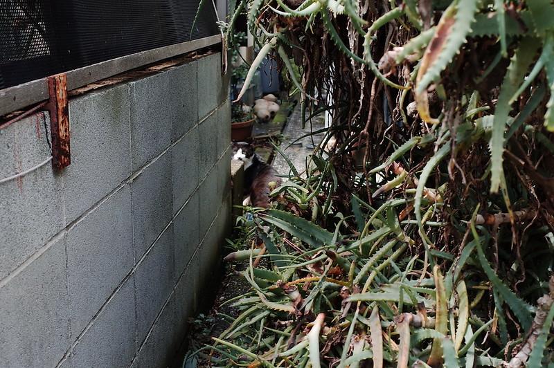 みさきまぐろきっぷの旅 城ヶ島の猫 黒白八割れ