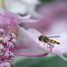 Syrphe ceinturé - Episyrphus balteatus - ♂