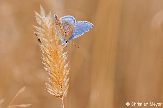 2013.08.11 - 7717 - Azuré de la bugrane Mériadec ©