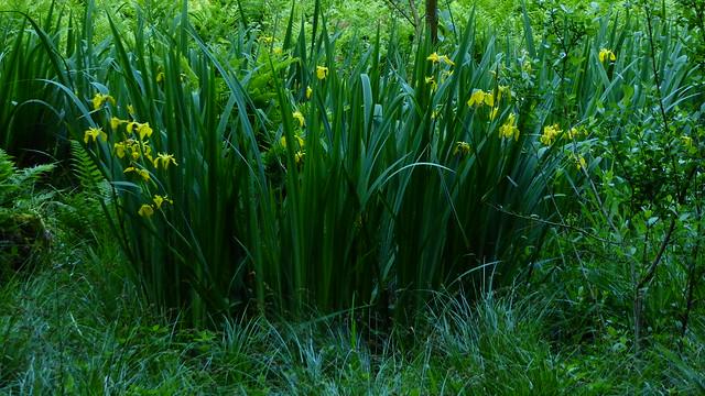 In einem Sumpfwald bei Haby - Gelbe Schwertlilien (Iris pseudacorus) (55)