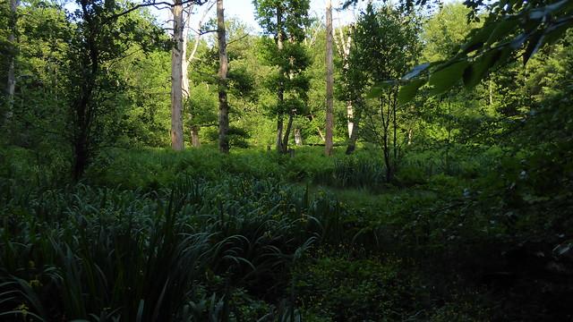 In einem Sumpfwald bei Haby (46)