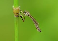 Striped Slender Robberfly - Leptogaster cylindrica