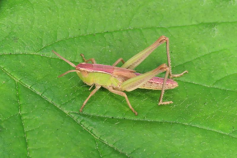 Meadow Grasshopper - Oedemera lurida