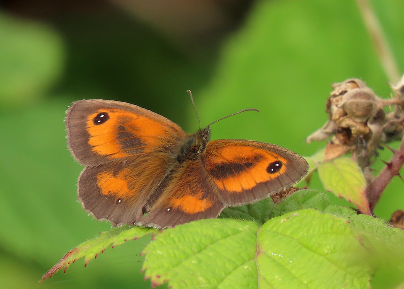 Gatekeeper - Pyronia tithonus