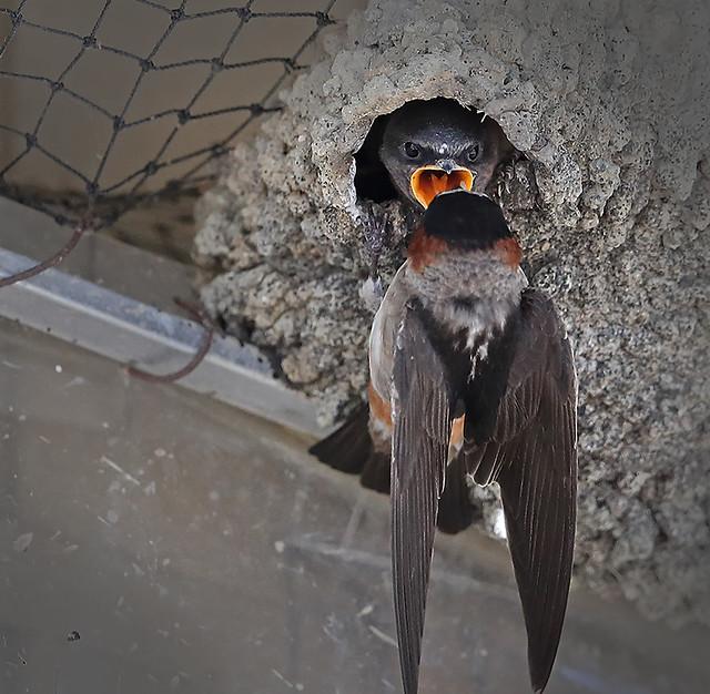 Cliff Swallow feeding