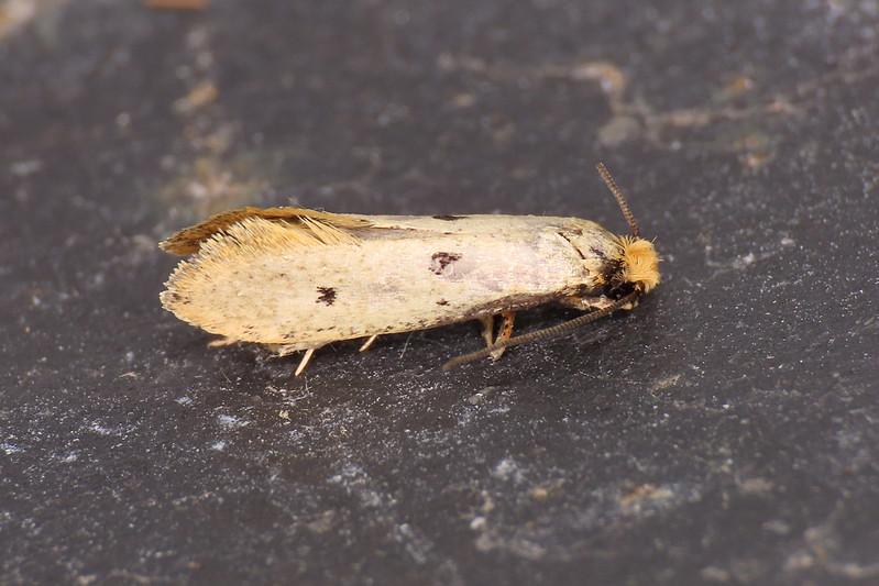 12.033 Bird's-nest Moth - Tinea trinotella
