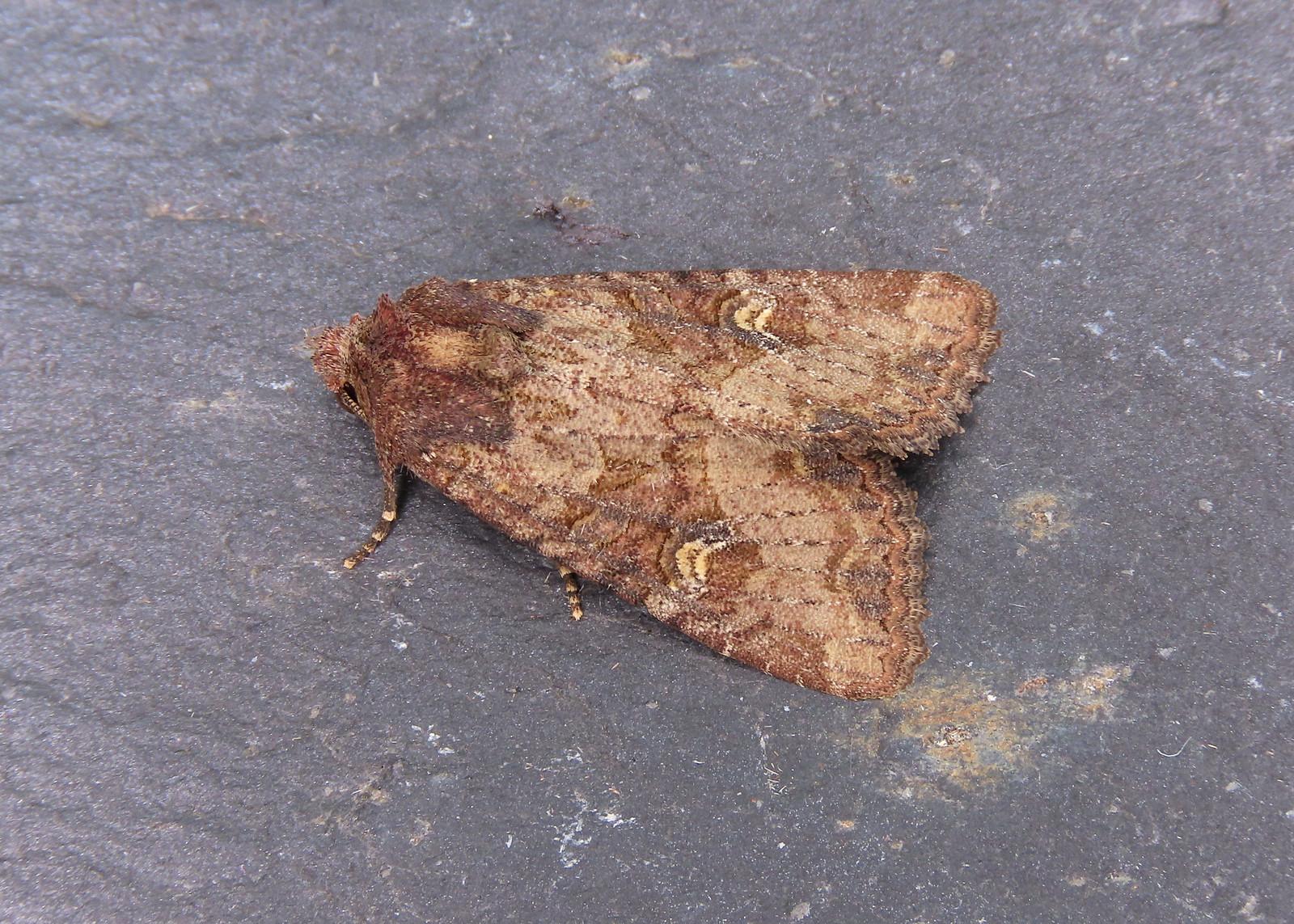 73.169x BF2343 Common Rustic agg. - Mesapamea secalis agg.