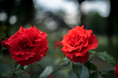 HBW 29/2019: roses are red