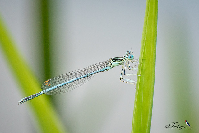 Agrion larges pattes