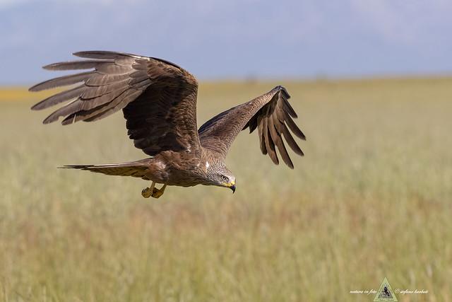 Nibbio bruno - Milvus migrans