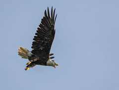 Eagle in flight....