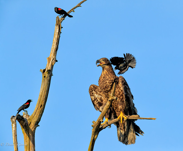 Attack the Eagle