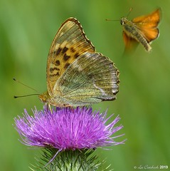 Silver-washed fritillary plus skipper in flight
