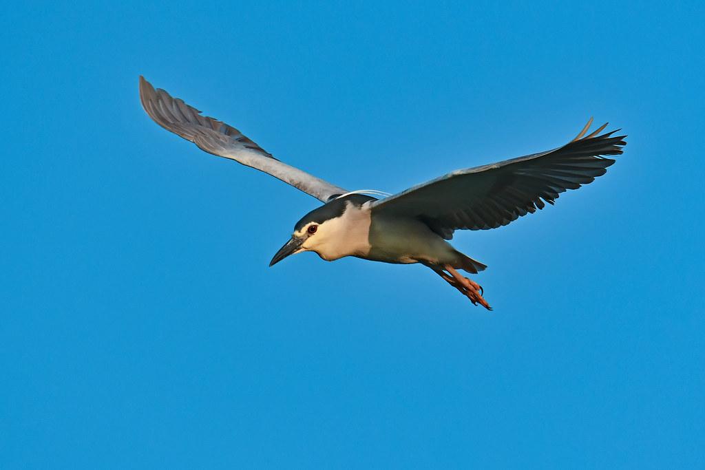 Black-crowned Night Heron 2019-07-06_01
