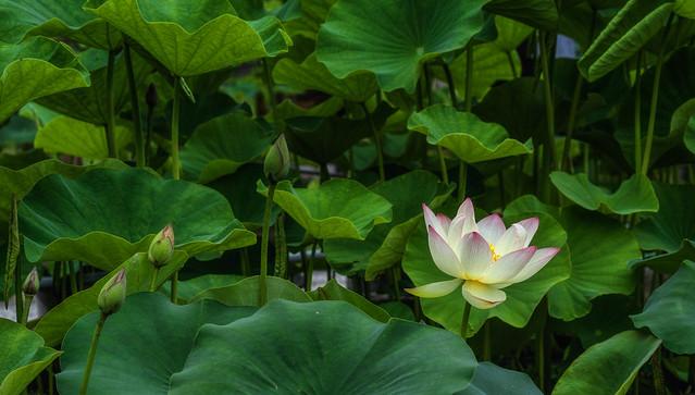 Lotus. Explored.