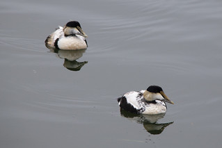 Eider males molting
