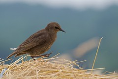Etourneau sansonnet - Estornèl comun - Common starling - Sturnus vulgaris