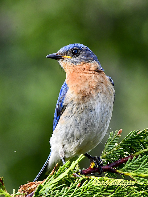 Male Bluebird on Tennessee's Cumberland Plateau