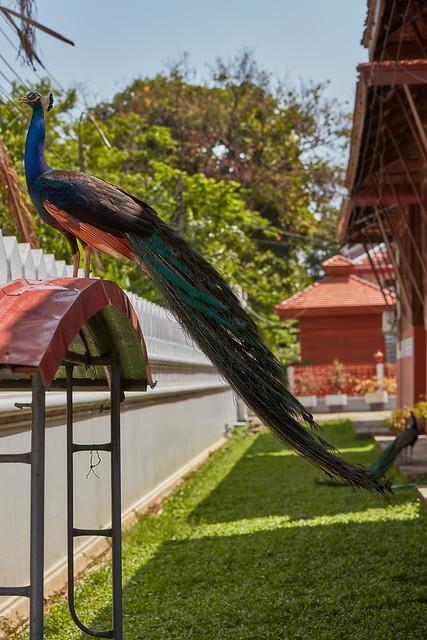 Bang Sri Muang – Peacock