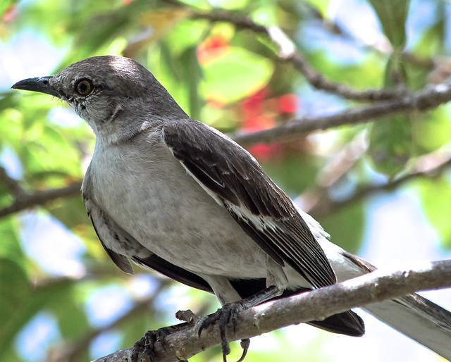 Mockingbird (3)