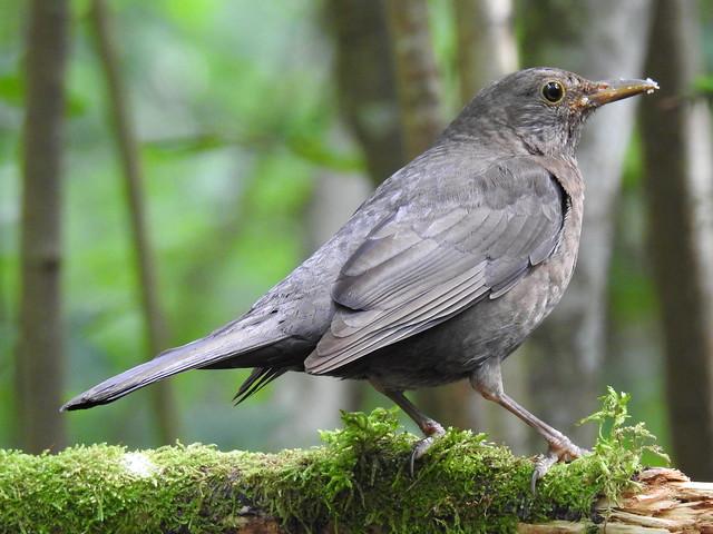 Blackbird ♀ (Turdus merula)