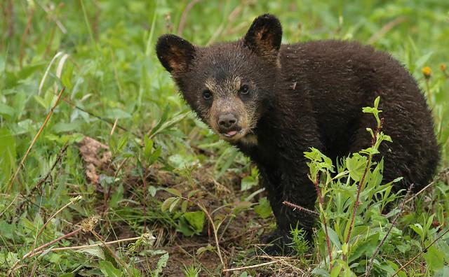 Black Bear cub...#32