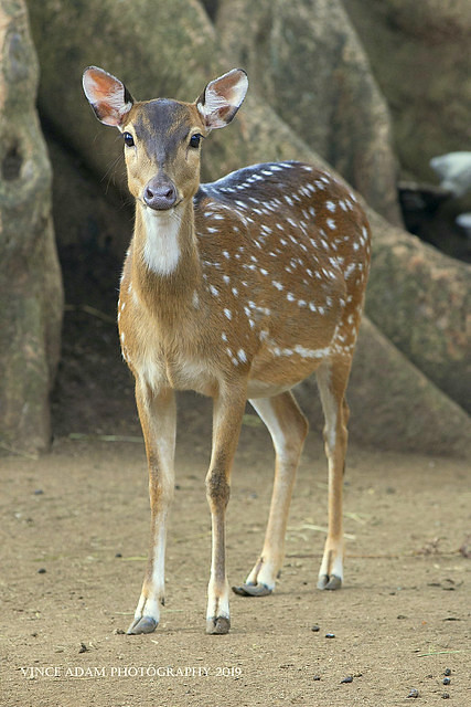 IMG_3872-0(W) Chital (Axis axis)