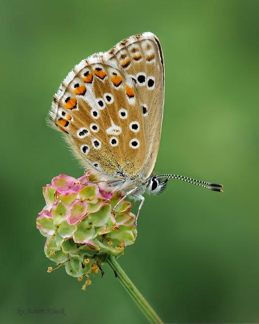 Himmelblauer Bläuling (Lysandra bellargus) - Weibchen