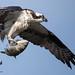 Osprey 7_15 1