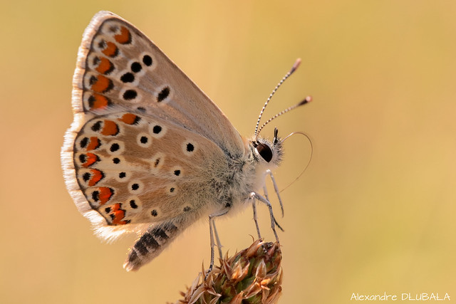 Small adonis blue