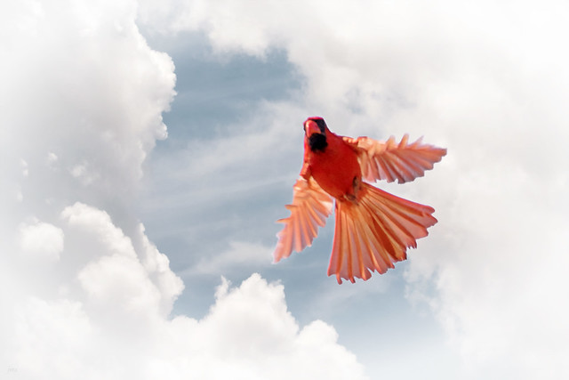 Angelic cardinal.