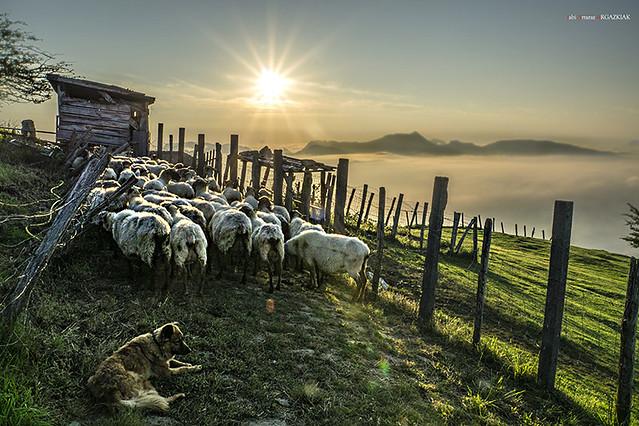 Antes de ordeñar las ovejas