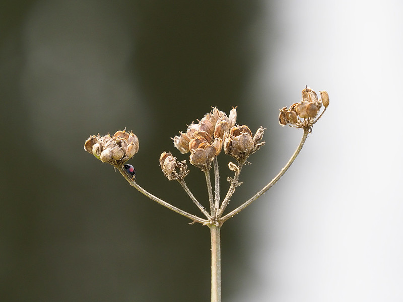 River Life - insect on Umbellifer