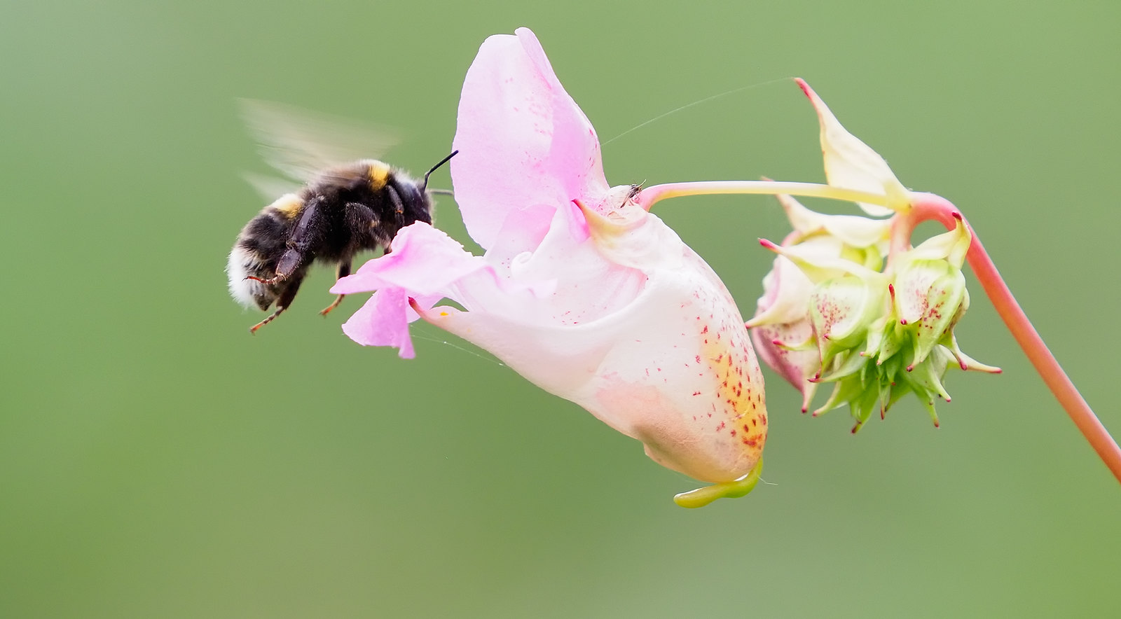 Himalayan Balsam - love it or hate it, the Bees love it...