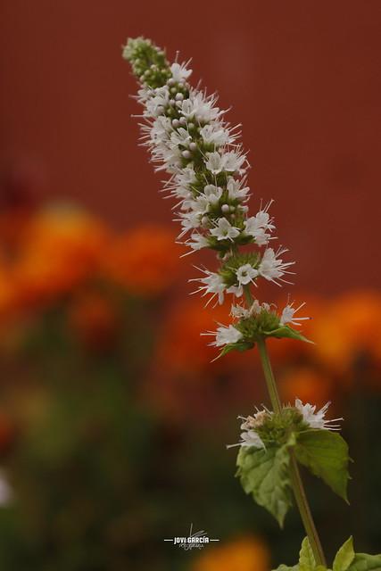 Hierbabuena en flor