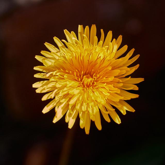 Dandelion (Taraxacum officinale) flower_DSF1593