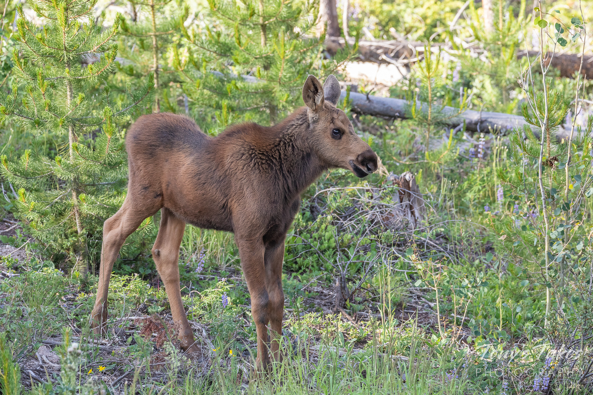 A very cute moose calf. (© Tony's Takes)