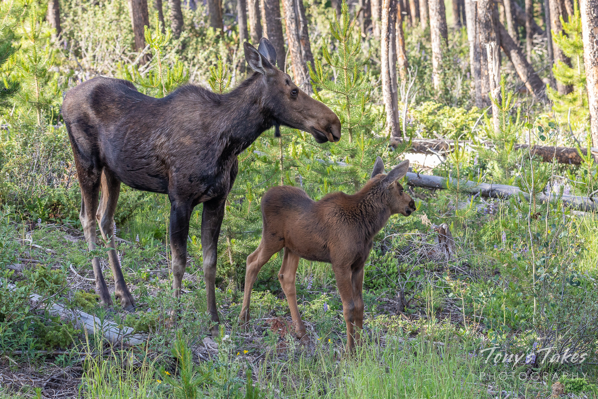 A moose cow and her calf keep watch on campers in the Colorado high country. (© Tony's Takes)