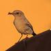 Grauwe Vliegenvanger