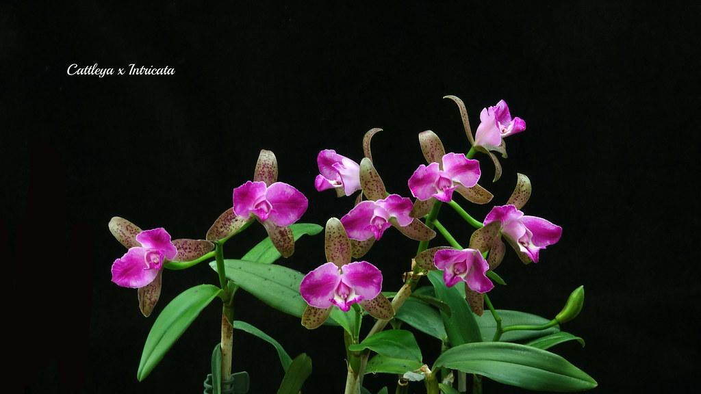 Cattleya x Intricata