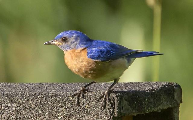 Eastern Bluebird 2.