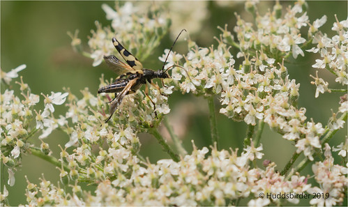 Spotted Longhorn_Reptula maculata