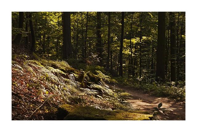 Soir d'été en forêt des Vosges du nord