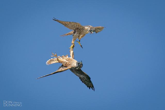 Peregrine Falcon Juveniles (Falco peregrinus)