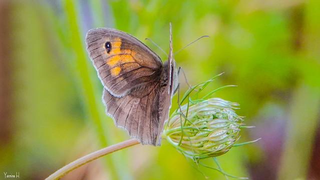 Butterfly - 7096