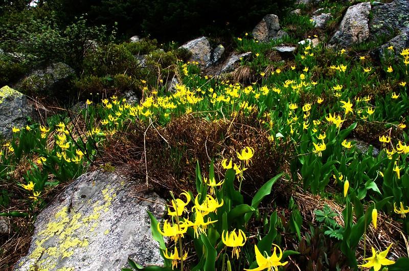 Glacier Lily (7)